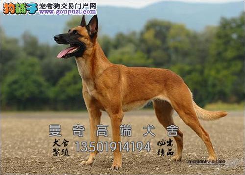 安徽马犬专业繁殖精品三个月全国发货