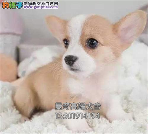 安徽犬舍柯基可爱顶级小血统纯正全国发货