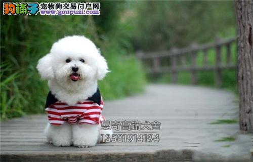 安徽比熊活泼可爱超萌幼犬待售全国发货