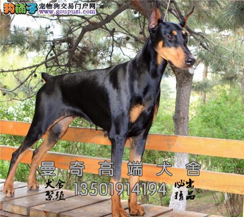 安徽正规犬舍杜宾聪明赛级警卫犬全国发货