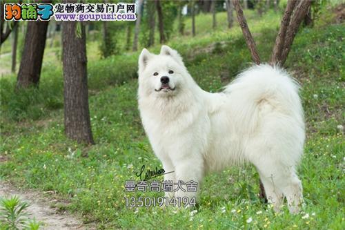 安徽萨摩耶极品澳版犬包纯种全国发货