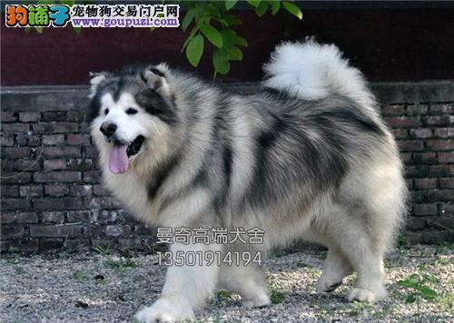 云南专业繁殖阿拉斯加顶级小犬全国发货