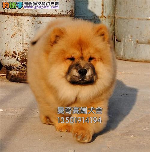 云南专业繁殖松狮出售健康奶油色全国发货