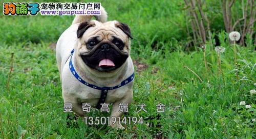 湖北专业繁殖巴哥极品乖巧小犬全国发货