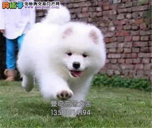 湖北萨摩耶出售微笑狗狗送用品全国发货