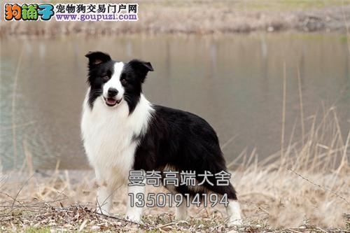 湖北边牧活泼可爱宽鼻线幼犬全国发货