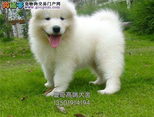 福建犬舍萨摩耶骨量足健康完美犬全国发货