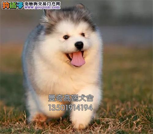 福建犬舍阿拉斯加聪明熊版幼犬全国发货