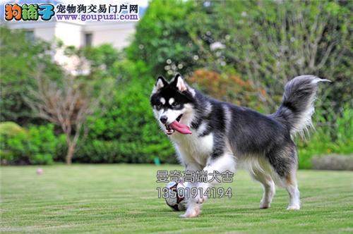 福建出售阿拉斯加自家养新生小犬全国发货