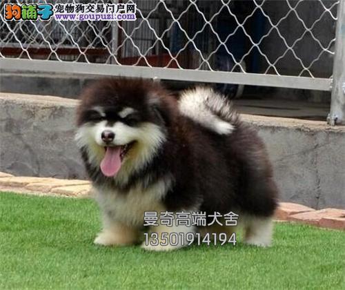 广西阿拉斯加熊版狗狗疫苗已做全国发货