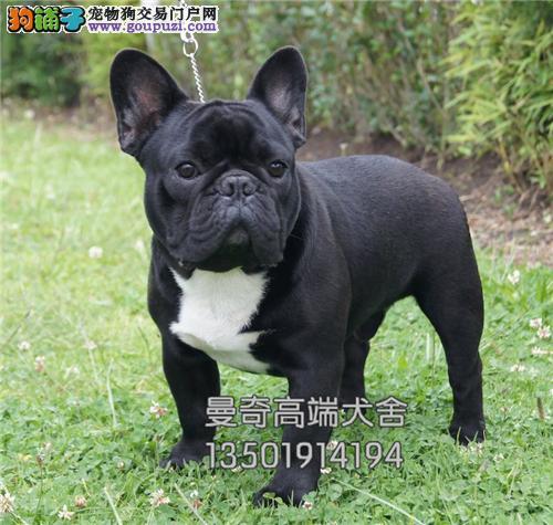 广西最大犬舍法牛聪明乖巧犬全国发货