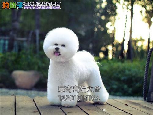 广西便宜出售比熊可爱小犬带证书全国发货