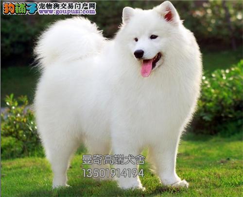 广西萨摩耶精品小犬包纯种双血统全国发货