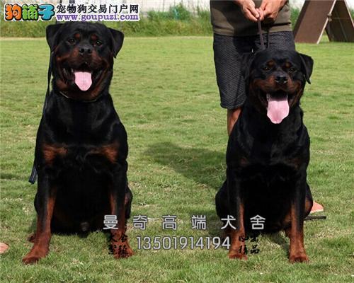 广西罗威纳精品出售幼犬待售全国发货