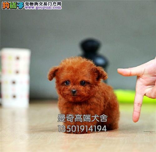 广东专业繁殖泰迪三个月送用品全国发货