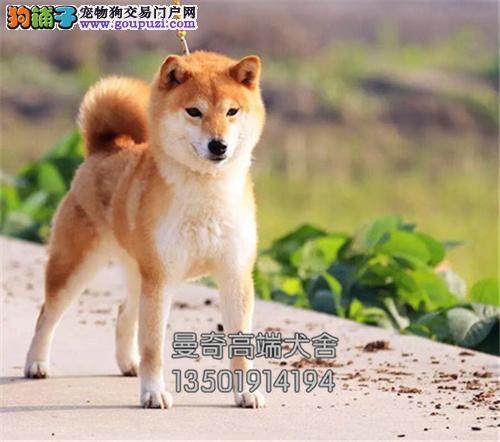 广东柴犬漂亮赛级黑鼻子带证书全国发货