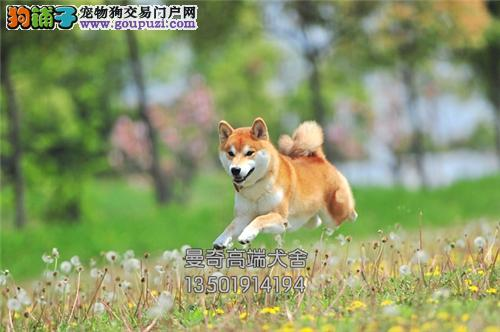 广东本地出售秋田骨量足漂亮日系全国发货