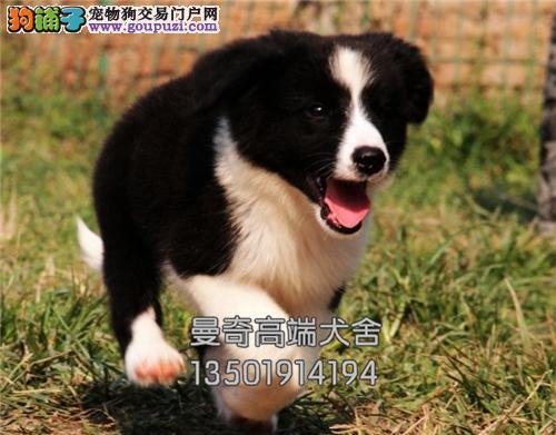 广东家养边牧犬送用品带证书全国发货