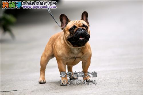 广东出售法牛聪明憨厚血统纯正全国发货