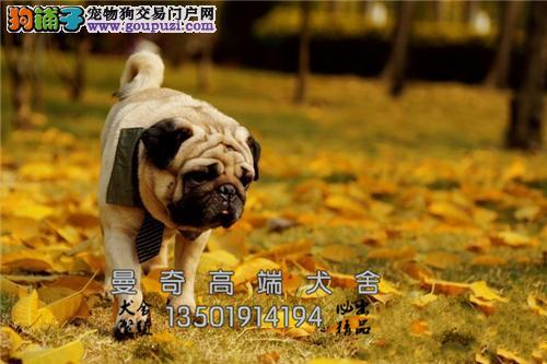 广东哪里有巴哥极品出售狗狗全国发货