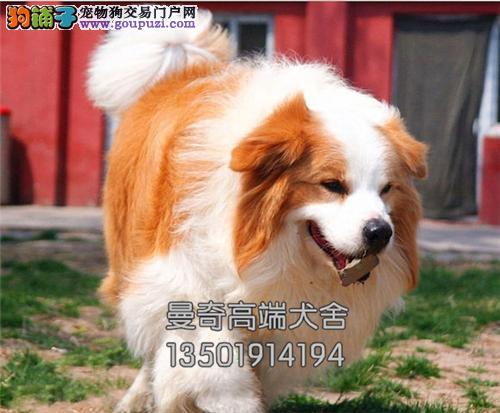 广东犬舍边牧骨量足狗狗上门打折全国发货