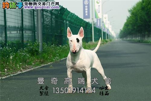 广东便宜出售牛头梗帅气聪明狗狗全国发货