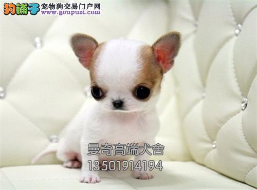西藏便宜出售吉娃娃乖巧赛级小全国发货
