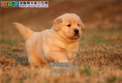 西藏正规犬舍金毛新生漂亮全国发货