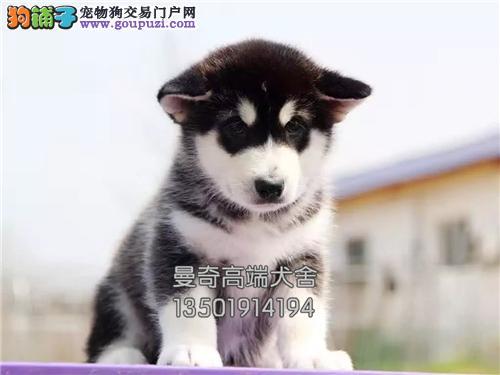 西藏出售哈士奇帅气狗狗幼犬待售全国发货