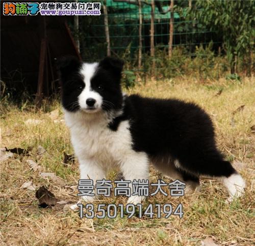 西藏犬舍边牧骨量足纯种多色可选全国发货
