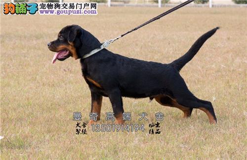 西藏马犬出售黑红脸下单有礼全国发货