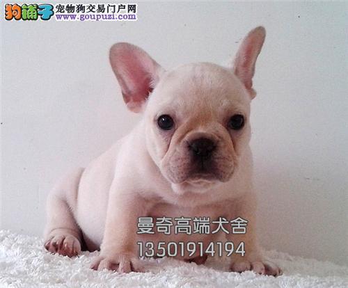 西藏法牛高品相纯种小犬全国发货