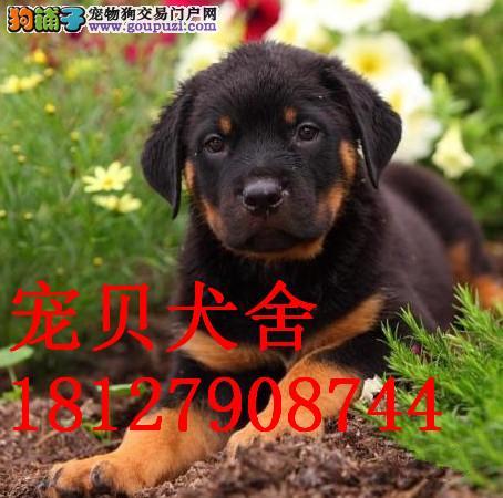 广州哪里有纯种罗威纳罗威纳报价多少钱罗威纳幼犬报价