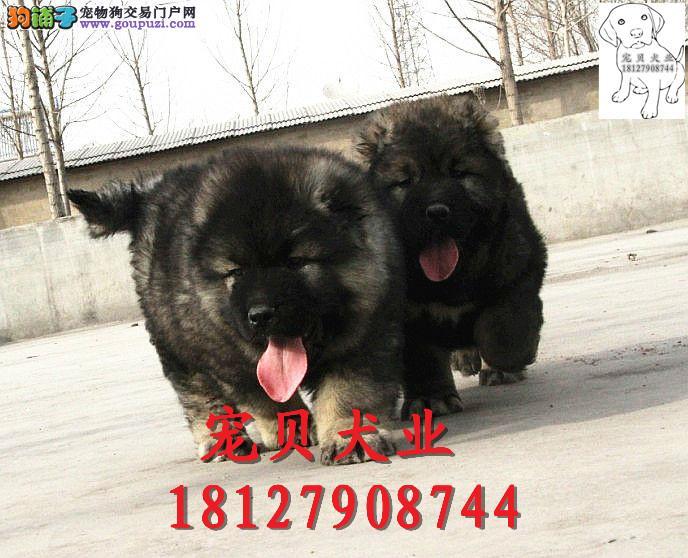 广州哪里有纯种高加索高加索报价多少钱高加索价钱多少