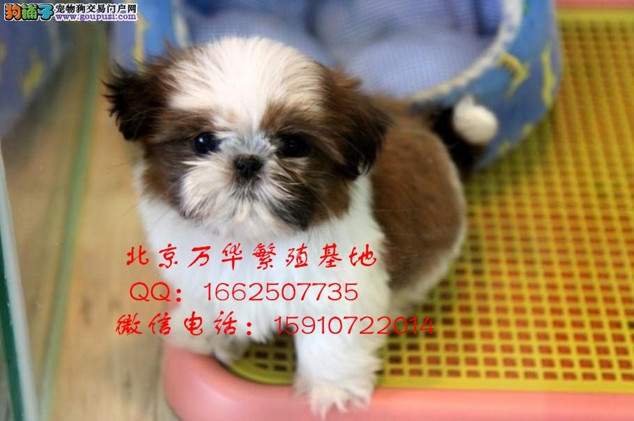 纯种西施幼犬出售 幼犬价格 欢迎选购