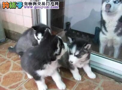 天津家养健康纯种哈士奇犬 有实拍照片 自取1000一只