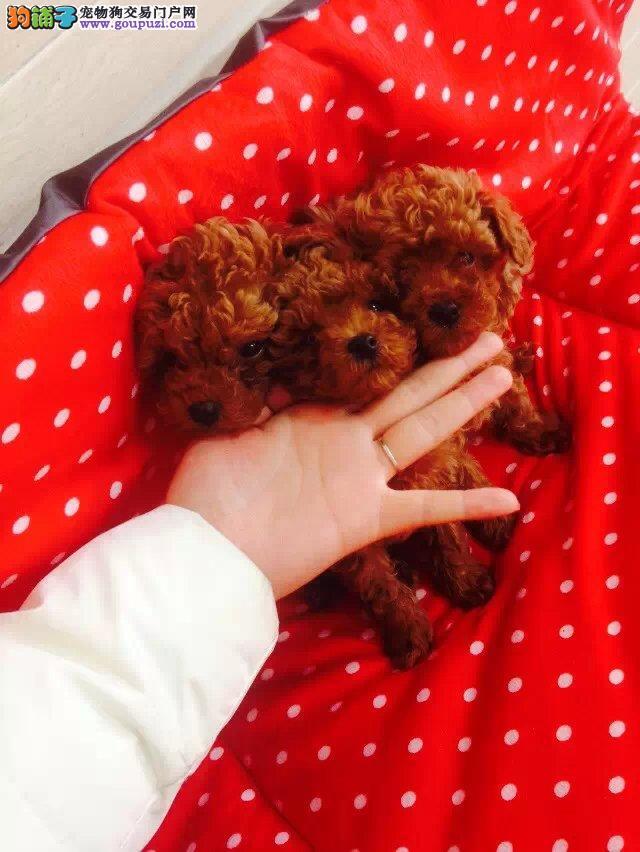 天津家养健康纯种贵宾犬 有实拍照片 自取1000一只