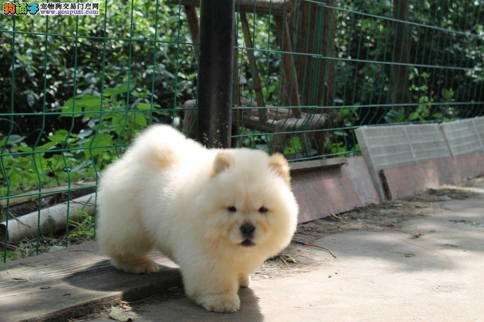 天津哪里卖松狮犬 白色松狮 黄色松狮 黑色松狮价格