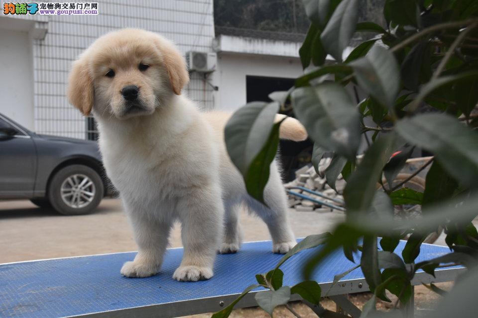 天津金毛哪里有卖 纯种黄金金毛猎犬多少钱 美系金毛