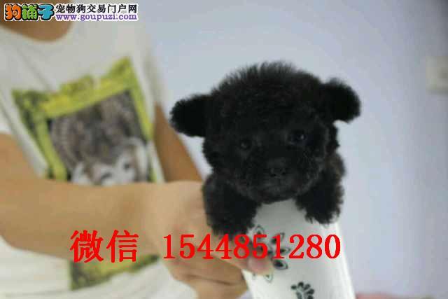 天津玩具红泰迪 天津黑色泰迪 天津微小体白泰迪照片