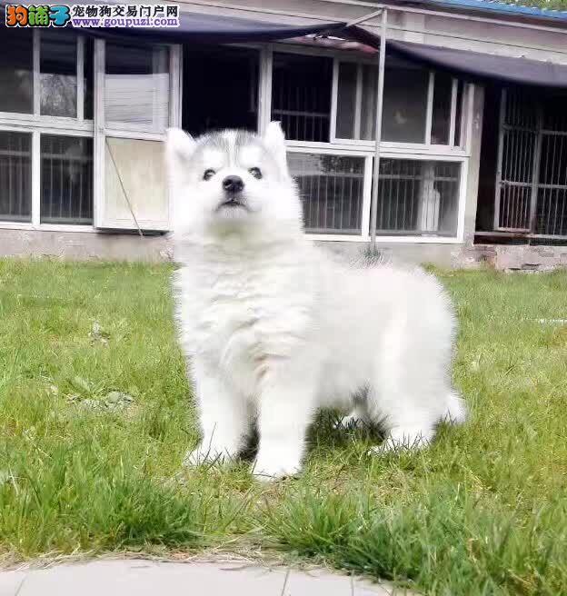天津哈士奇 烟灰色哈士奇 蓝眼哈士奇 棕色哈士奇犬舍