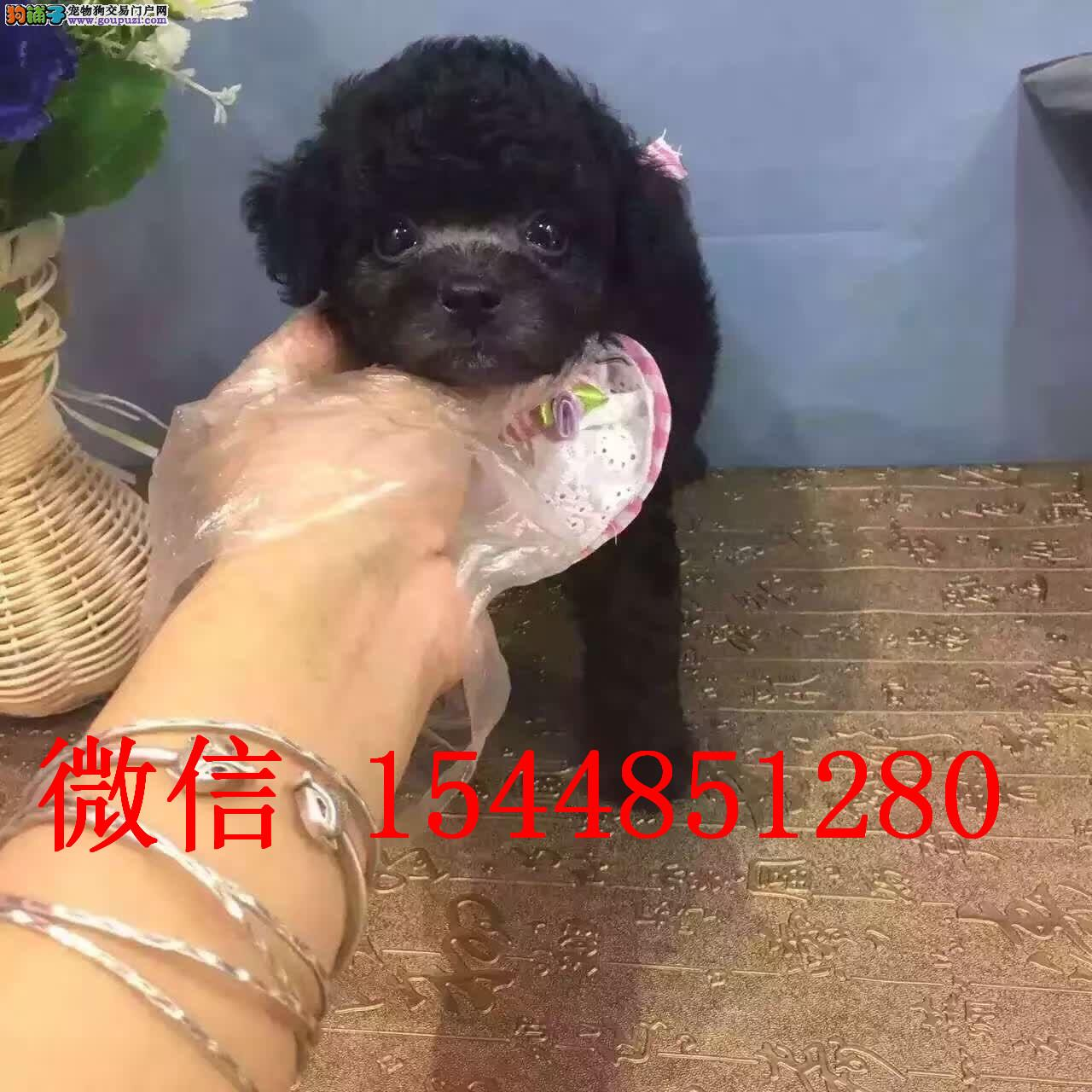 大同哪里有泰迪犬卖 纯种小体茶杯灰色泰迪犬多少钱