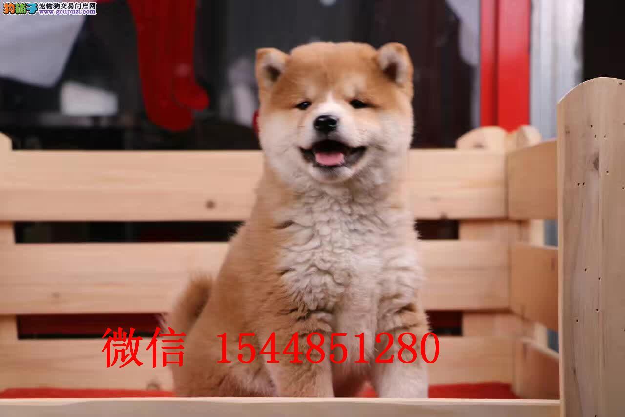 新乡哪里有卖柴犬 日系柴犬多少钱 赤色柴犬好养吗