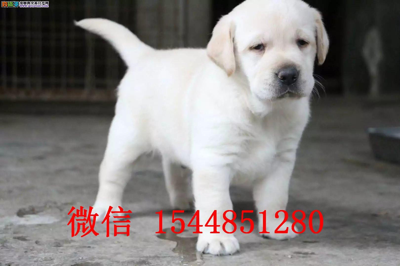 新乡哪里有拉布拉多犬卖 黑色拉布拉多犬 奶油色拉拉