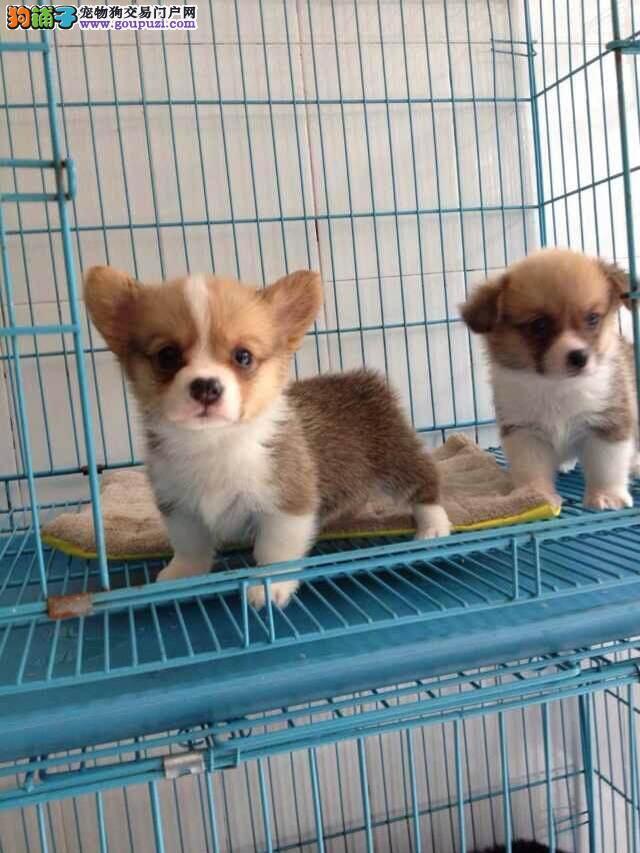 苏州市买小柯基犬苏州市柯基犬好的狗场在哪