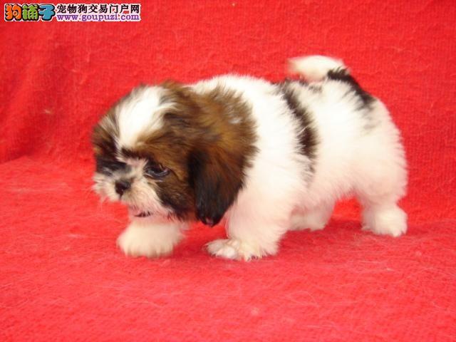 青浦区买西施犬什么价格在哪里买有优惠