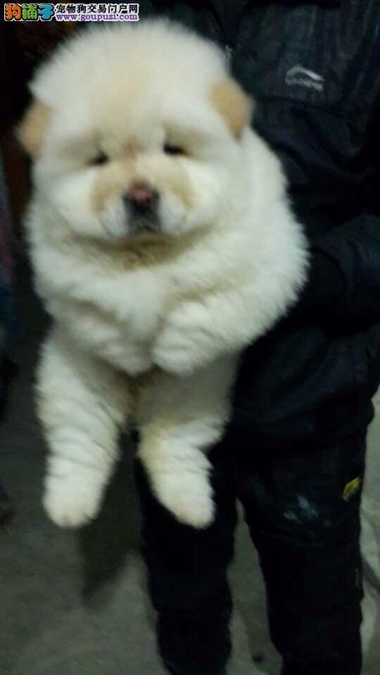 普陀区狗场买松狮犬售卖点宠物店在哪里