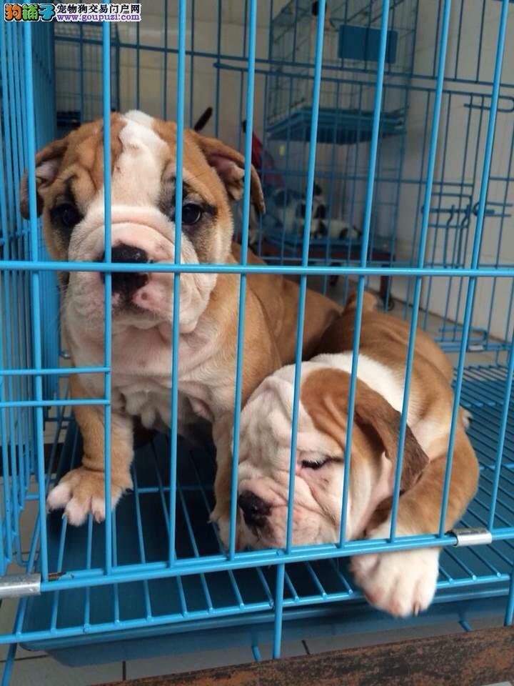 普陀区狗场买英国斗牛犬售卖点宠物店在哪里
