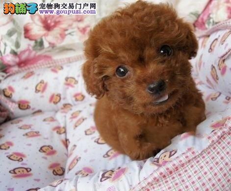 珠海哪里有卖泰迪犬 纯种泰迪犬繁殖 签协议
