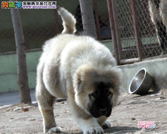 猛犬高加索 活泼听话忠于主人 专业繁殖 欢迎来家看